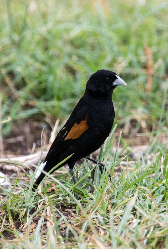 Fan-tailed Widow Bird