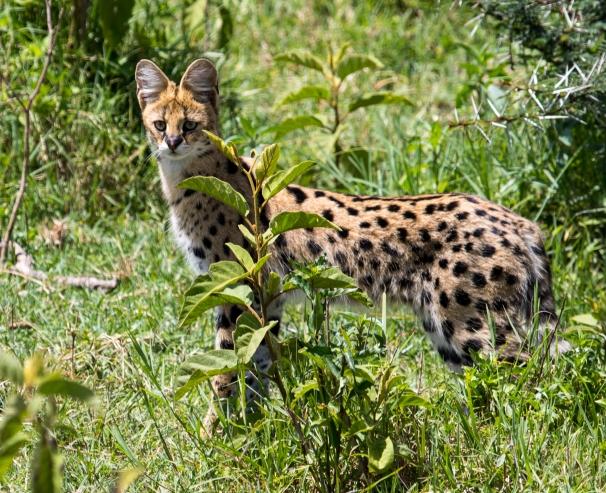 Serval-Ndutu