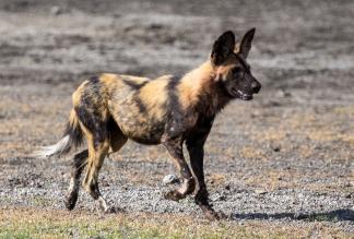 African Wild Dog-Ndutu