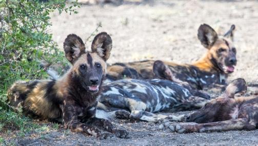African Wild Dogs-Ndutu