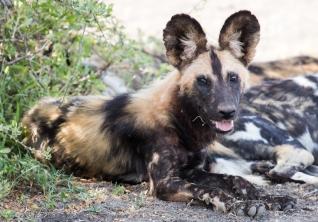 African Wild Dogs- Ndutu