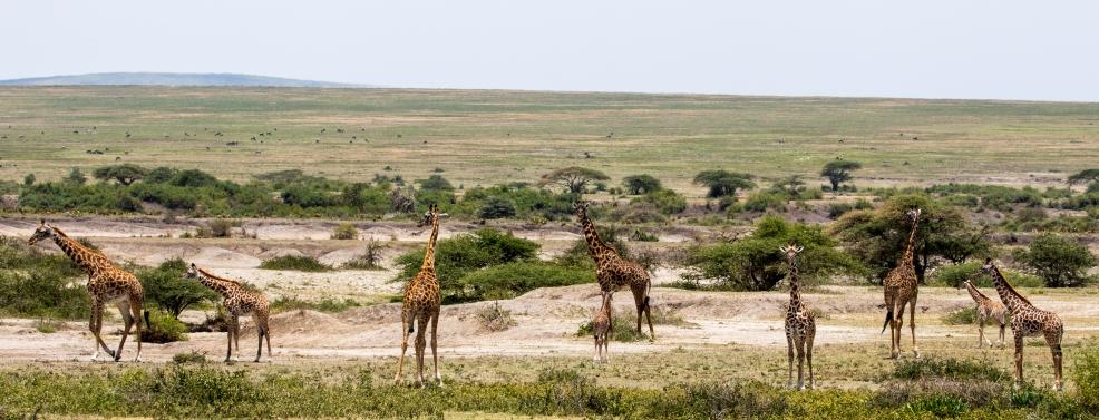 Giraffes-Ndutu