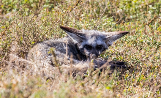 Bat-eared Fox-Ndutu