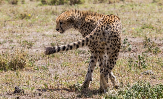 Cheetah-Ndutu