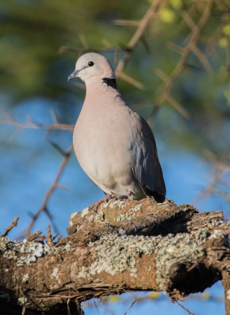 Ringed-necked Dove