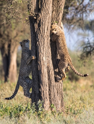 Cheetahs-Ndutu