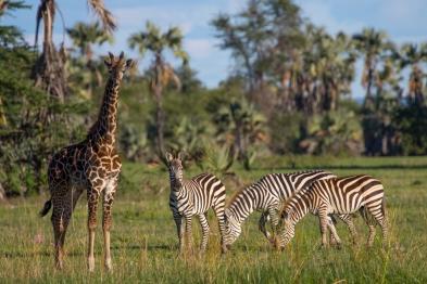 Giraffe and Zebras-Maramboi