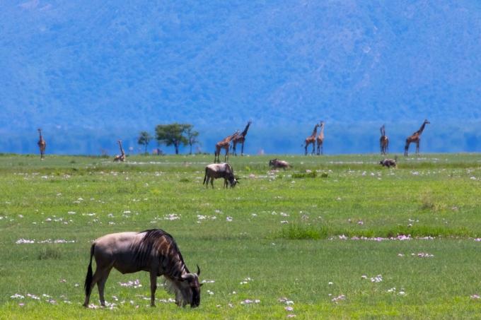 Wildebeast and Giraffes-Maramboi