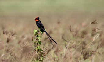 Red-collard Widow Bird