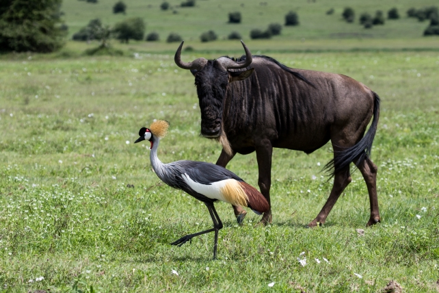 Wildebeast and Grey Crowned Crane-Ngorongoro