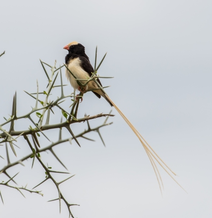Straw Tailed Whydah