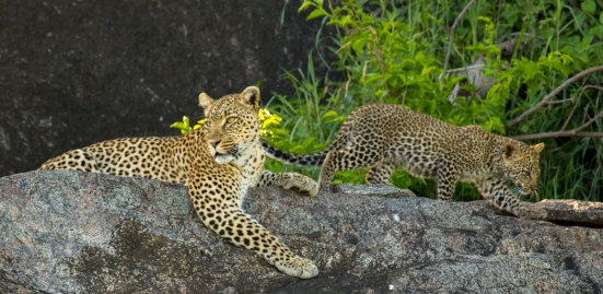 Leopard with cubs-Serengeti