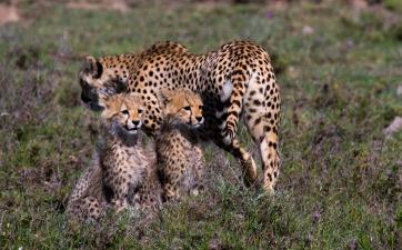 Cheetah with cubs-Serengeti