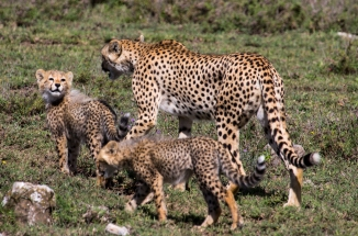 Cheetah with cubs-Serengeti