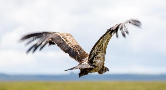 Ruppell´s Griffon Vulture
