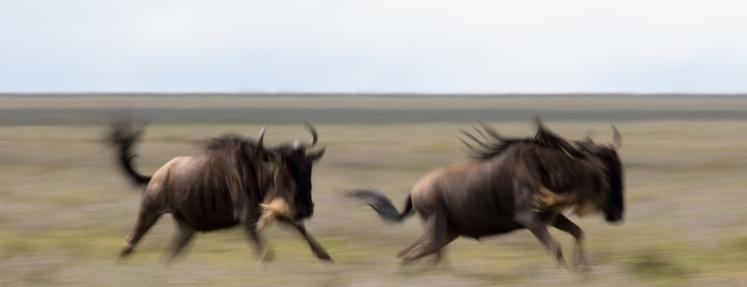 Wildebeasts-Serengeti