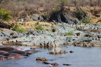 Hippos, Impalas, Crocodiles, Baboons-Serengeti
