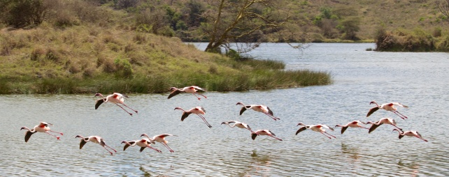 Lesser Flamingo landing at Momela lake-Arusha National Park