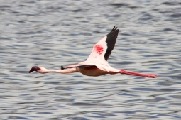 Lesser Flamingo flying over Momela lake-Arusha National Park