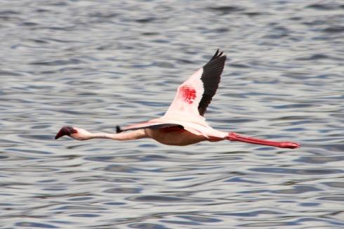 Lesser Flamingo flying over Momela lake-Arusha National Park