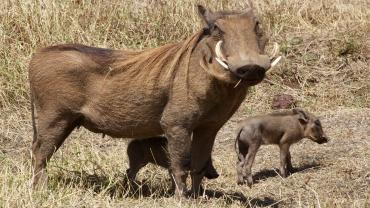Warthogs-Ngorongoro