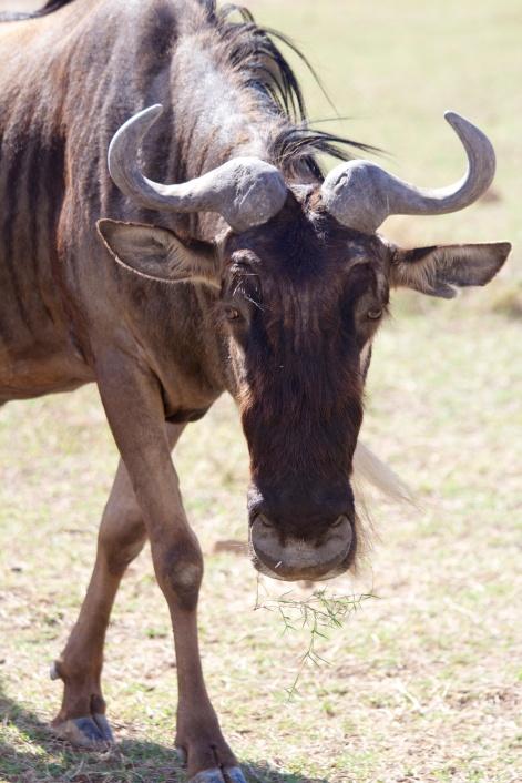 Wildebeest-Ngorongoro
