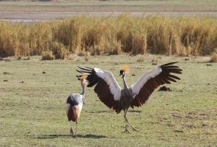 Grey Crowned Crane dancing-Ngorongoro