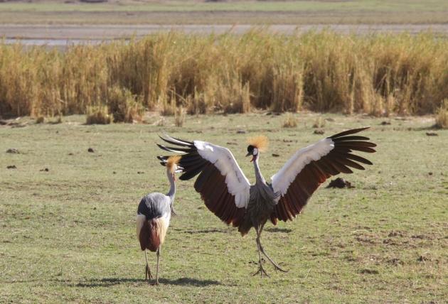 Grey Crowned Crane dancing-Ngorongoro
