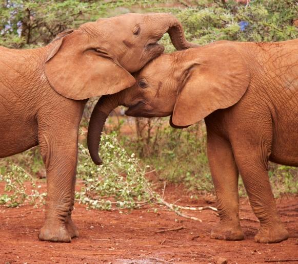 Young elephants-Nairobi National Park