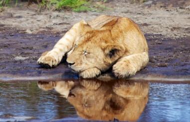 Lion cub-Ndutu, Serengeti