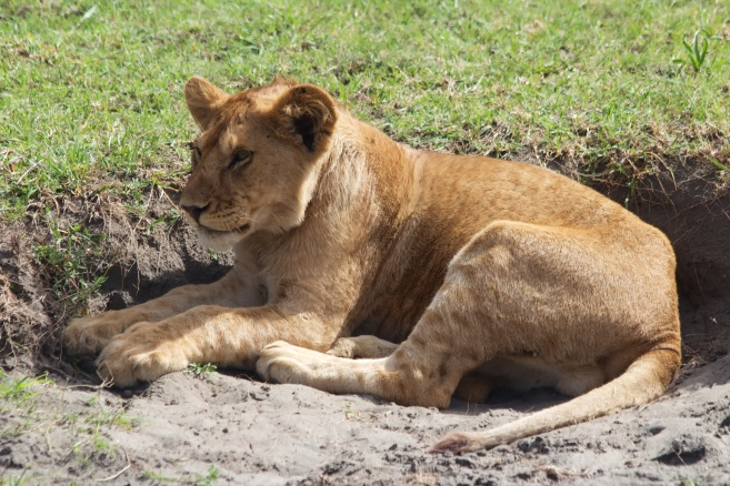 Lion cub-Serengeti