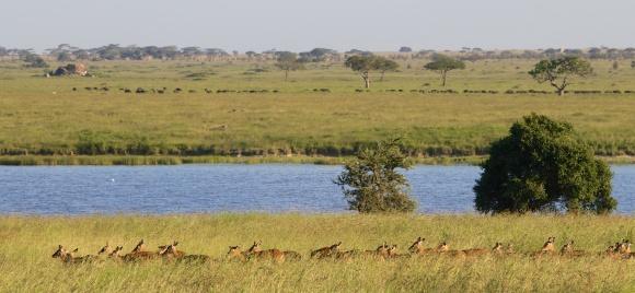 Impalas, buffalos-Serengeti