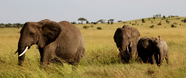 Elephants-Serengeti