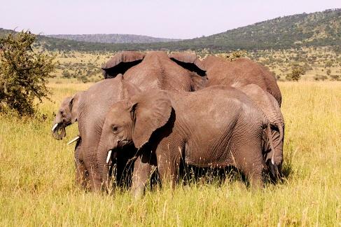 Elephants-Serengeti