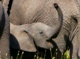 Baby elephant-Serengeti
