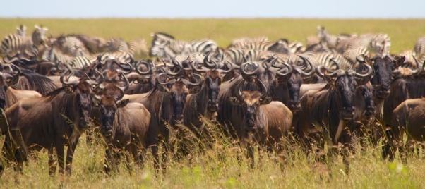 Wildebeests, Zebras-Serengeti