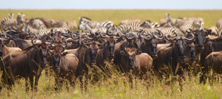 Wildebeests, Zebras-Serengeti