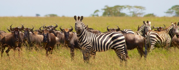 Zebras, wildebeests-Serengeti