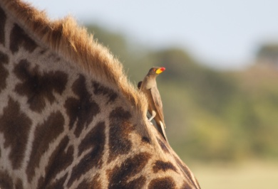 Oxpecker on giraffe-Serengeti