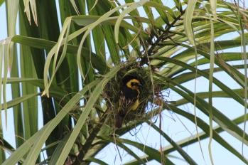 Weaver-Arusha