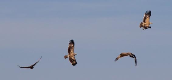 Tawny eagles-Serengeti