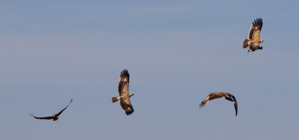 Tawny eagles-Serengeti