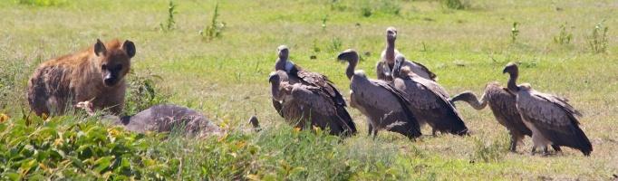 Hyaena, vultures-Serengeti