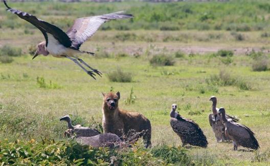 Hyaenas, vultures, marabu stork on a wildebeest kill