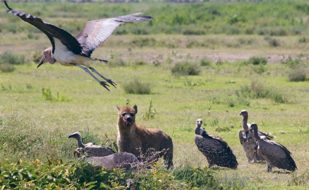 Hyaenas, vultures, marabu stork on a wildebeest kill