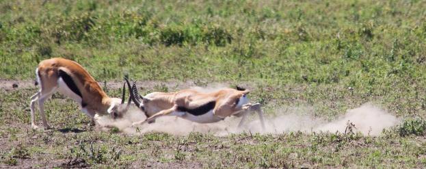 Thomson's gazelles fighting-Serengeti