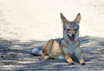 Black-backed jackal-Serengeti