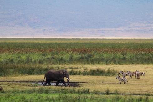 Elephant and Zebras-Ngorongoro