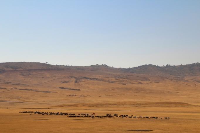 Masaai herding cattle-Malanja depression, Ngorongoro
