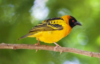 Black headed weaver-Bahar-dir, Ethiopia